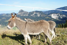 picture of einstein  - Two donkeys in the Tannheim Valley in Tyrol - JPG