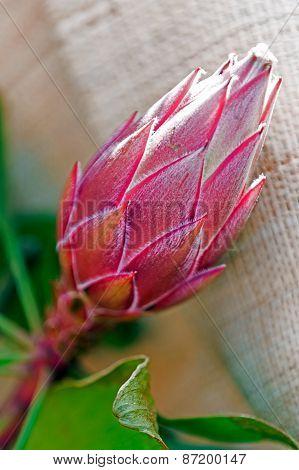 Macro Of Cactus Flower