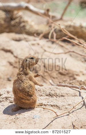 Cute Prairie Dog Near Hole