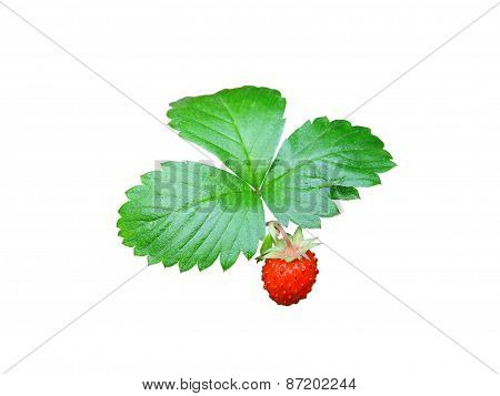 Strawberries Closeup With Green Leaves