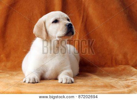 A Little Yellow Labrador Puppy On Orange Background
