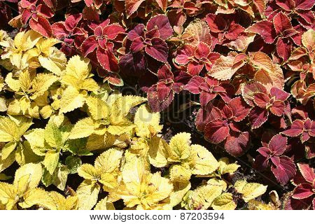 Two Colours Coleus Plants In A Bed