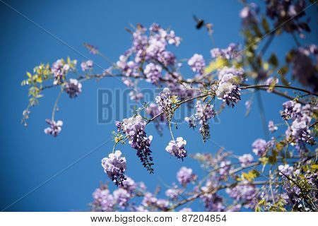 Lilac  Wisteria Flower