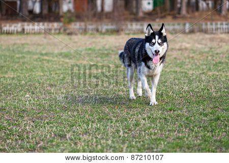 Siberian husky on the walk.