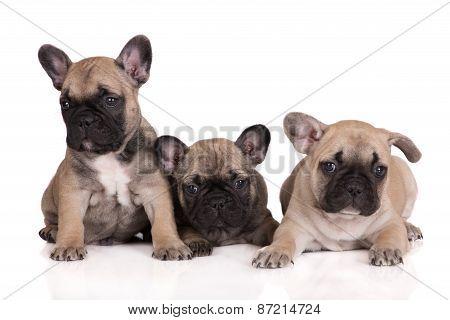 three adorable french bulldog puppies