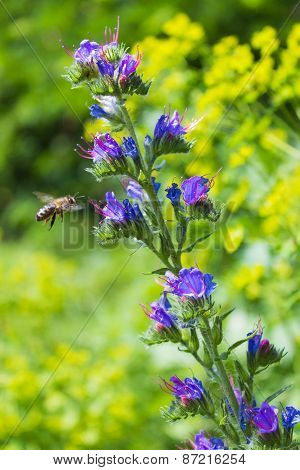 bee sitting on a blue colors and collects flower nectar in the meadow on a sunny day