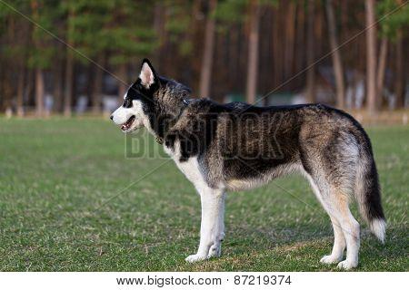 Black Siberian Husky.