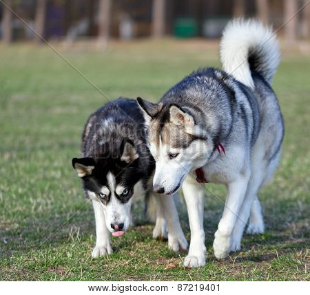 Two Siberian Husky is strolling next to each other.