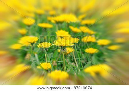 Dandelion flowers in meadow - springtime