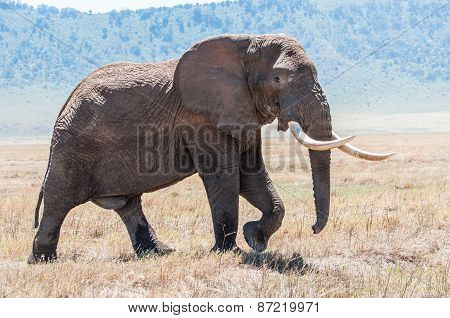 Huge Elephant Bull Walking In Ngorongoro Crater In Full View