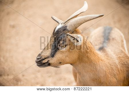 Pygmy Goat Close Up