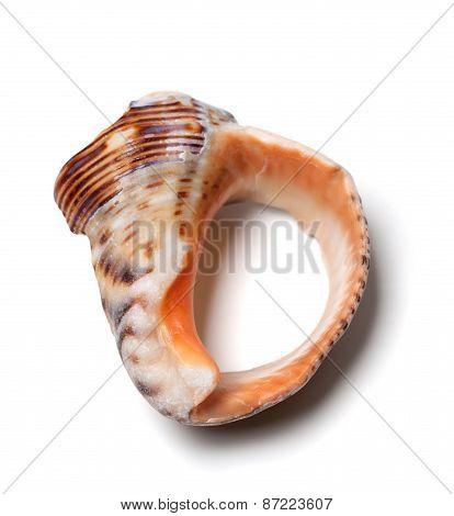 Broken Rapana Shell