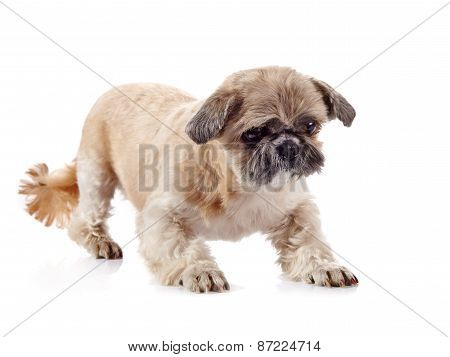 The Decorative Doggie Of Breed Of A Shih-tzu