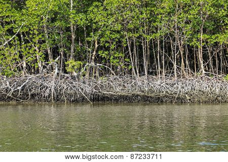 Red Mangrove of Florida
