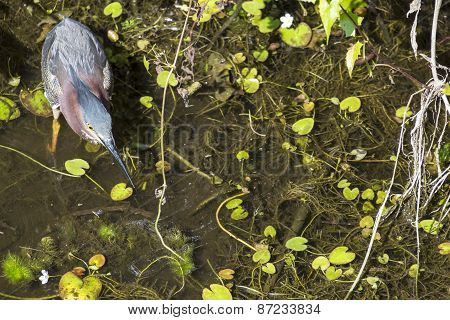 Green Heron Stalking a Prey