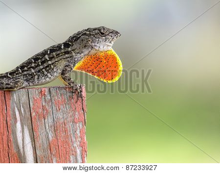 Brown Anole Lizard Puffed Up Red Pouch to Warn Passerby
