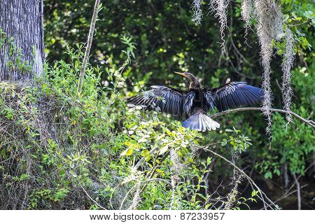 Anhinga or Snake Bird Drying Its Wings on a Tree Branch