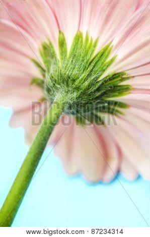 Pink Gerbera Flower Stem