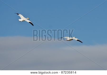 Two Snow Geese Flying In A Cloudy Sky