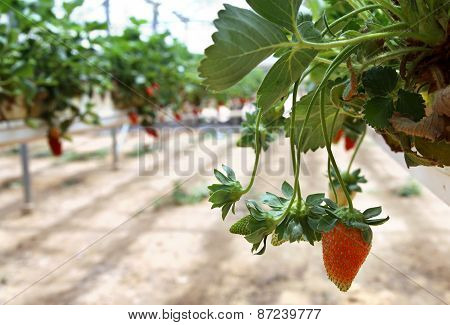 Growing Strawberries In Greenhouses
