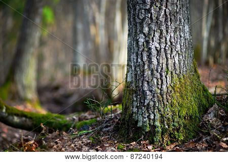 Conifer Tree  In Wilderness