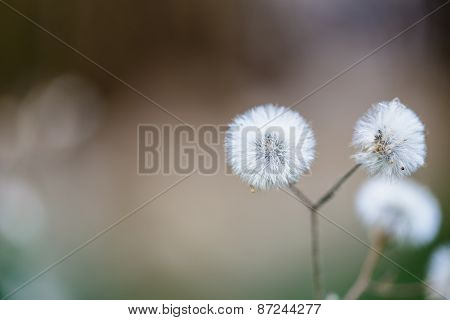 Beautiful white dandelion flowers close-up. close up of Dandelion with abstract color and shallow fo