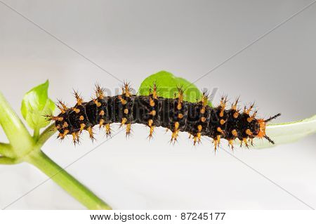 Caterpillar Of Great Eggfly Butterfly
