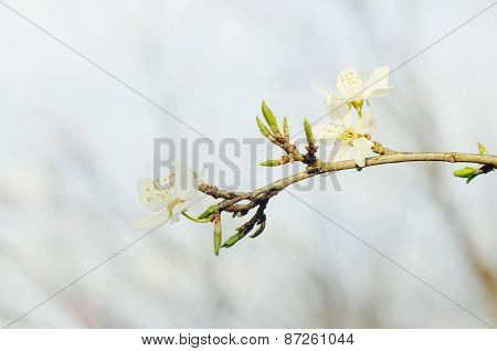 Blossoming tree brunch with flowers