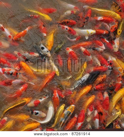 Fancy carp fishs / koi