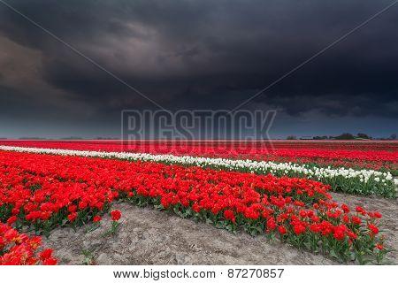 Dark Stormy Sky Over Tulip Field
