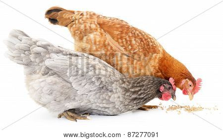 Two Hens And Grains