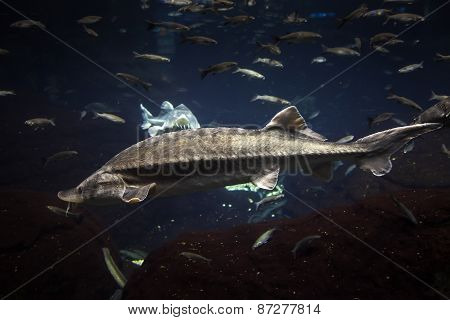 Big Atlantic Sturgeon Floats In Deep Blue Salt Water