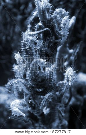 Seahorse Colony On The Coral, Closeup Photo