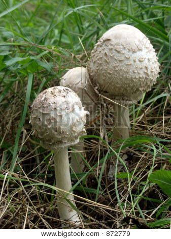 Umbrella Mushrooms