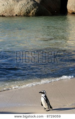 African Penguin & Beach