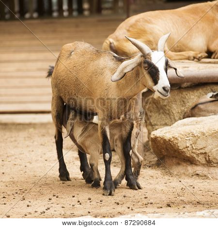 Old Mother Sheep With Drinking Brown Lamb