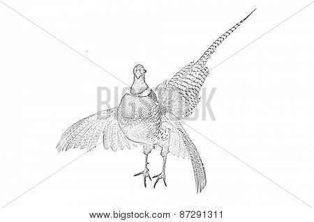 Line art, or pen and ink style rendition of a Male Pheasant isolated on white