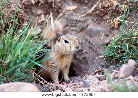 Prairie Dog 1