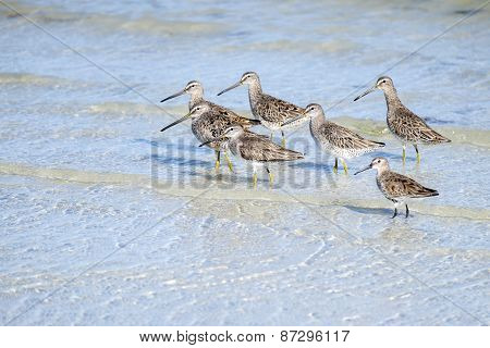 Greater Yellowlegs Birds and a Dunlin on the Beach
