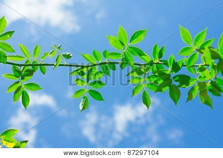 The Green Creeper Plant on background sky
