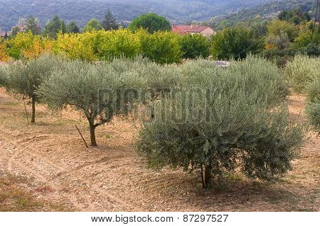 Fields Of Olive-trees