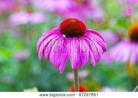 Rudbeckia Coneflower flowers