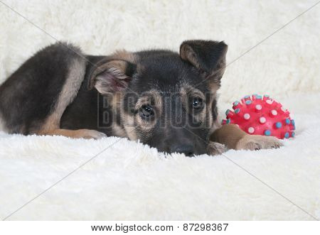 Small Black And Yellow Puppy Lying Next To Ball On Fur Sofa