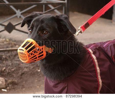 Black Dog In Orange Muzzle