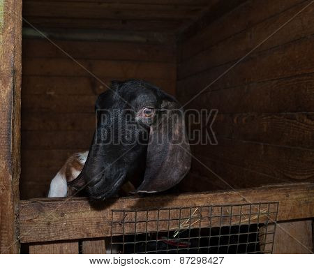 Nubian Black Goat In Barn