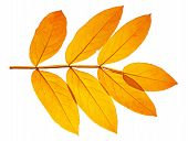 pic of ashes  - The yellow autumn leaf ash on white background - JPG