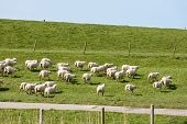 image of dike  - Herd of afraid sheep running along a Dutch dike
