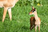 image of pointed ears  - A young impala stands with her ears pointed looking around for any danger while her mother walks behind - JPG