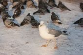 foto of flock seagulls  - large flock of pigeons and seagull in winter - JPG