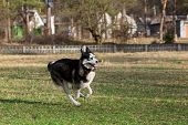 stock photo of siberian husky  - Black Siberian Husky is running fast with a stick in his mouth - JPG